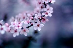 Cherry Blossoms by Jeff Kubina - https://www.flickr.com/photos/kubina/